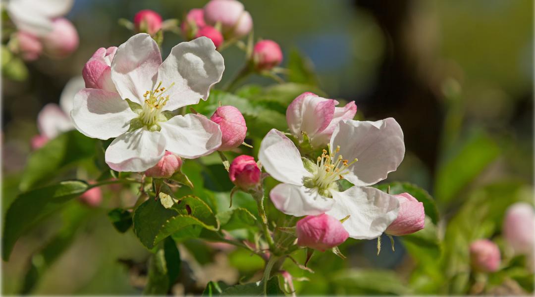 Obstblüten retten: Flüssiggas schützt vor Kältetod