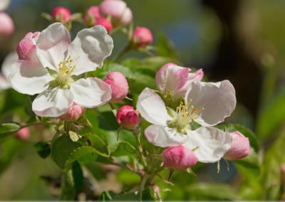 Obstblüten retten, schützen, Flüssiggas, Frost, Frostbuster, Landwirtschaft, Ernte